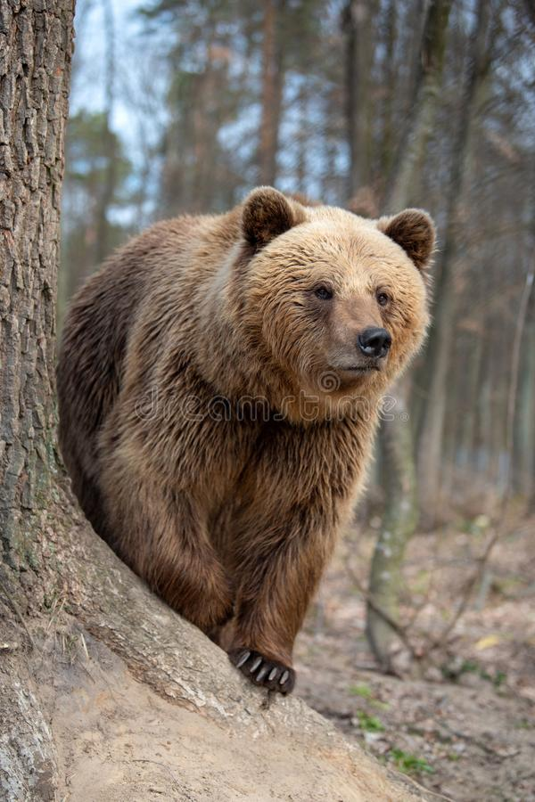 Big brown bear in forest. Close up big brown bear in spring forest royalty free stock images
