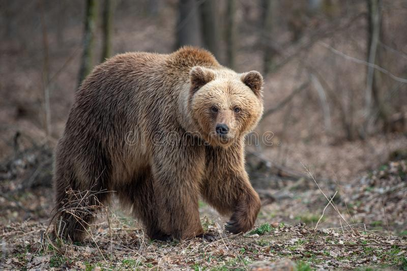 Big brown bear in forest. Close up big brown bear in spring forest royalty free stock photography