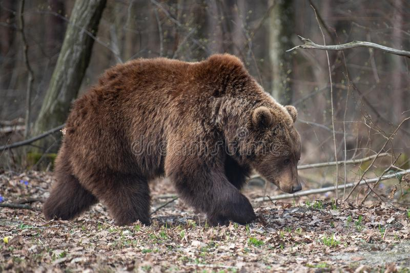 Big brown bear in forest. Close up big brown bear in spring forest stock image