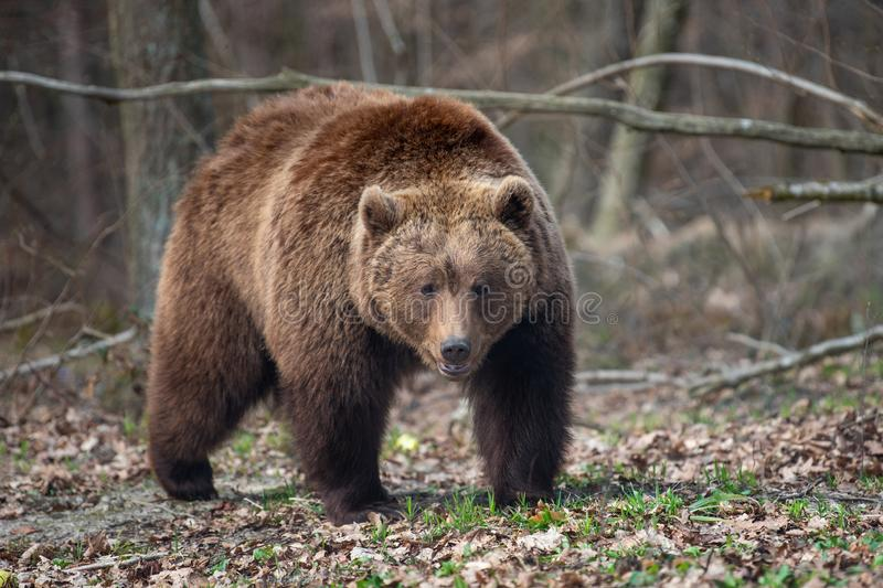 Big brown bear in forest. Close up big brown bear in spring forest royalty free stock photo