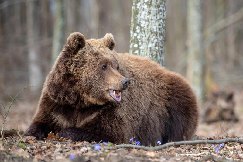 Big brown bear in forest. Close up big brown bear in spring forest stock photo