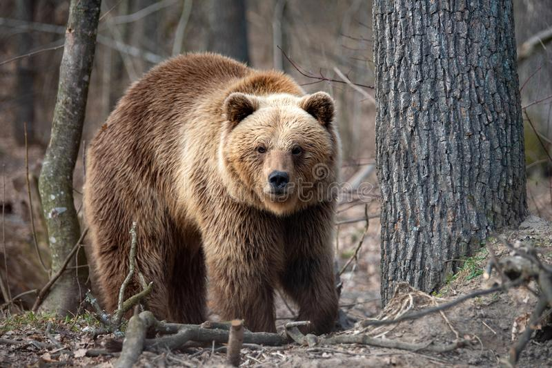 Big brown bear in forest. Close up big brown bear in spring forest stock photography