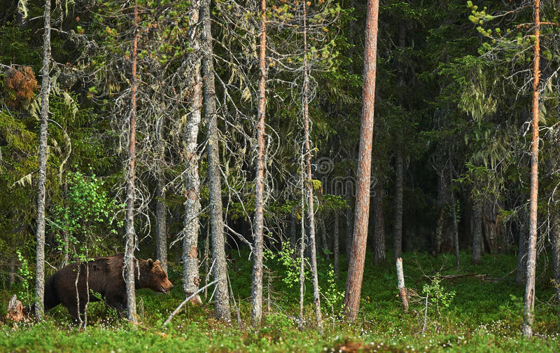 Big Brown bear in the forest royalty free stock photo