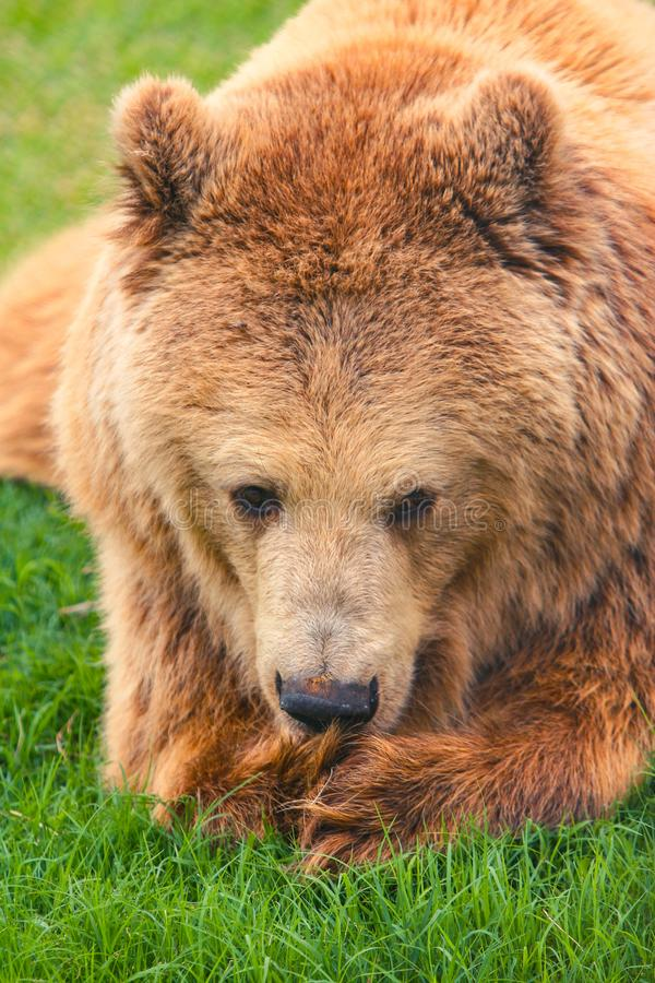 Big brown bear head portrait closeup. Portrait of the big brown bear laying down on the grass stock photos