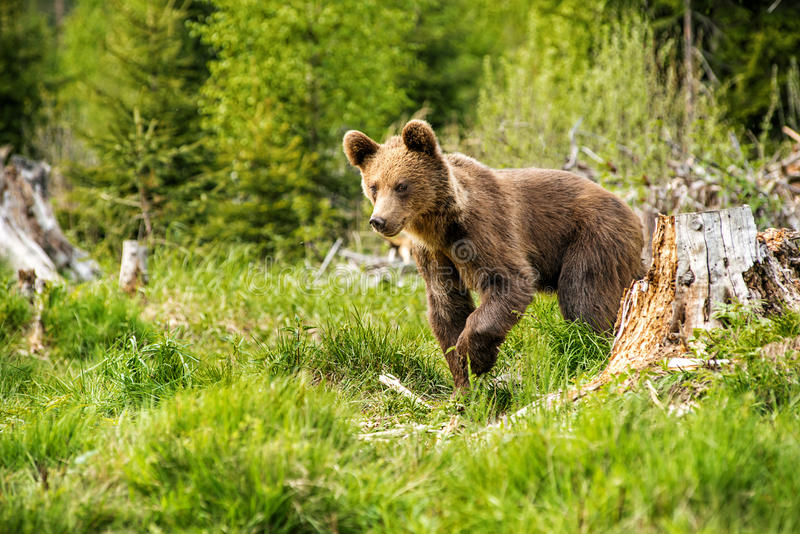 Big brown bear in nature or in forest, wildlife, meeting with bear, animal in nature.  royalty free stock image