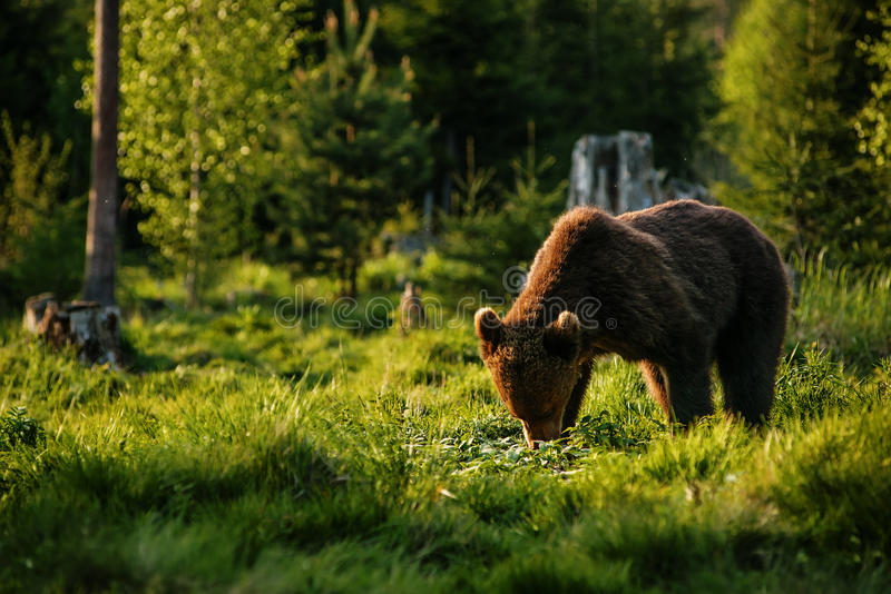 Big brown bear in nature or in forest, wildlife, meeting with bear, animal in nature.  royalty free stock photos