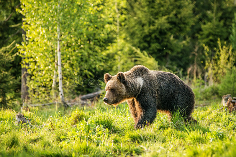 Big brown bear in nature or in forest, wildlife, meeting with bear, animal in nature.  stock images