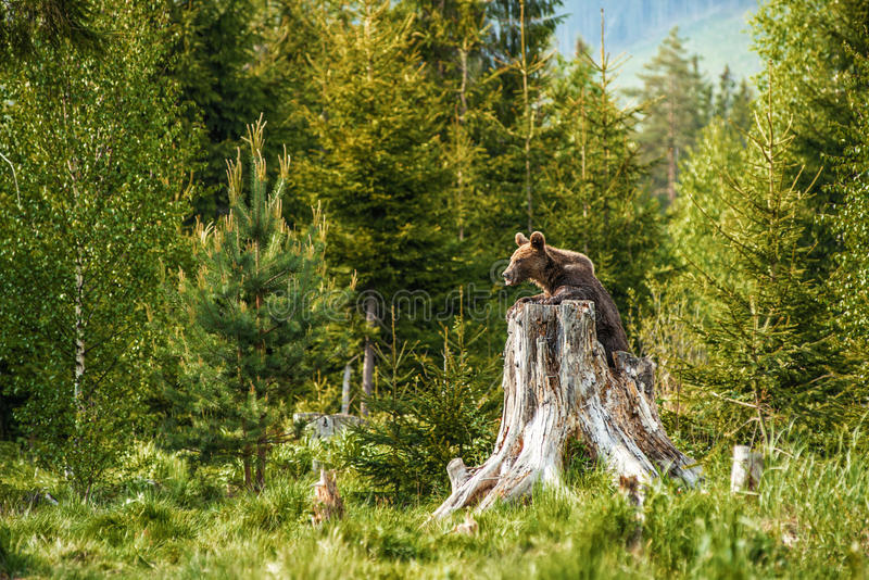 Big brown bear in nature or in forest, wildlife, meeting with bear, animal in nature.  stock photography
