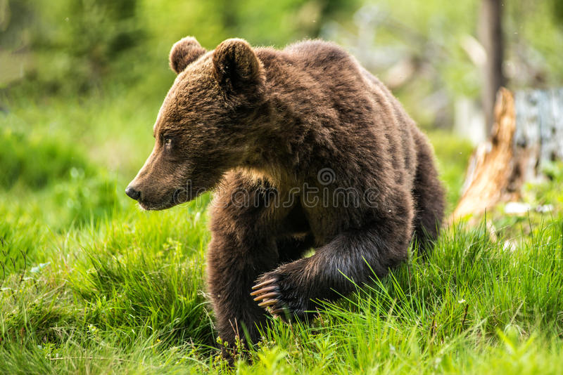 Big brown bear in nature or in forest, wildlife, meeting with bear, animal in nature.  stock photos
