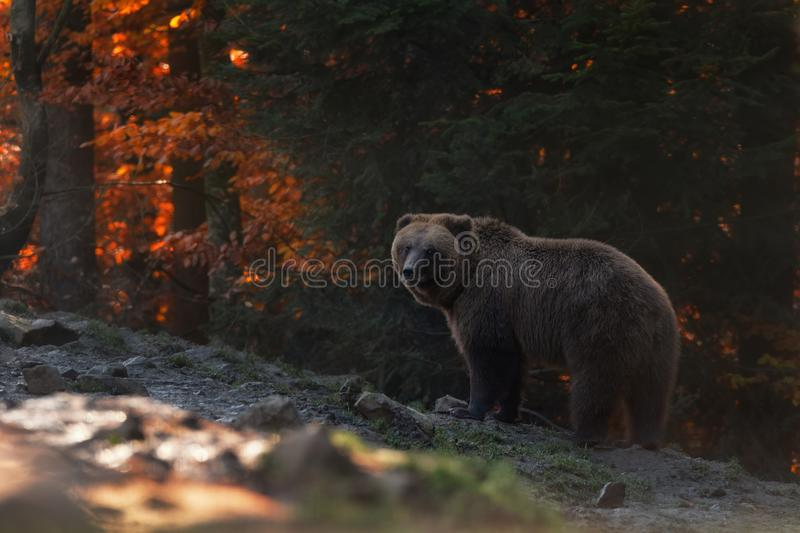 Big Brown Bear Stands In The Background Of The Autumn Forest And Looks Into Your Eyes. Ursus Arctos Brown Bear On The Mountain. Side. Unique Wildlife Of Ukraine royalty free stock photos