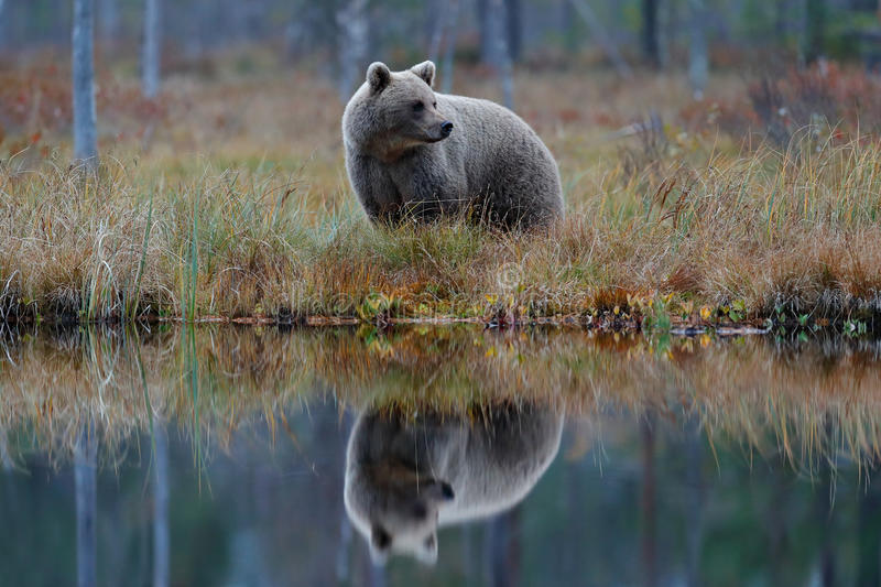 Big brown bear walking around lake with mirror image. Dangerous animal in the forest. Wildlife scene from Europe. Brown bird in th stock images