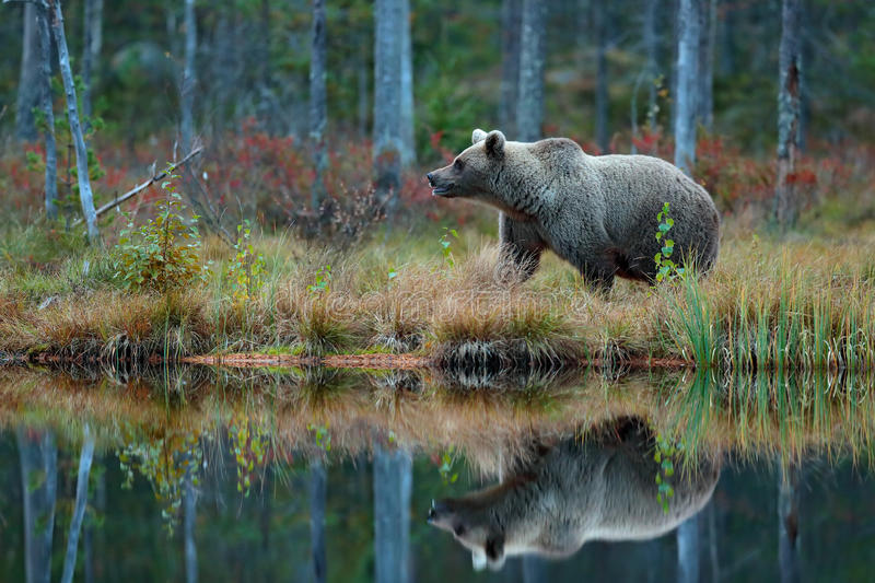 Big brown bear walking around lake in the morning sun. Dangerous animal in the forest. Wildlife scene from Europe. Brown bird in stock photography