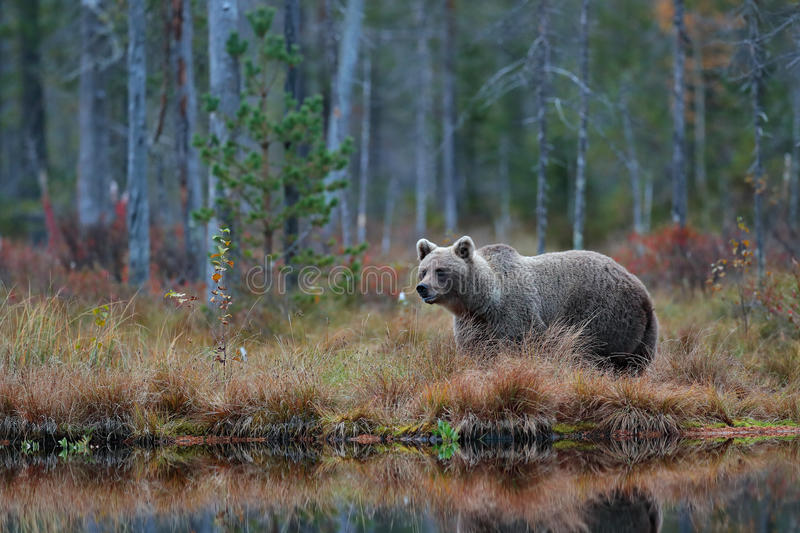 Big brown bear walking around lake in the morning sun. Dangerous animal in the forest. Wildlife scene from Europe. Brown bird in stock photo