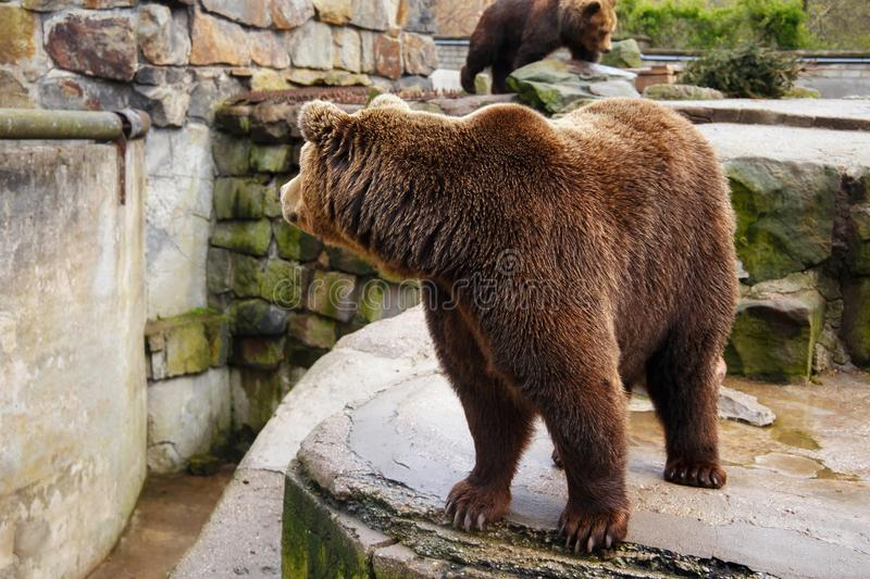 Big brown bear. Big brown bear in a zoo on an artificial rock stock photography