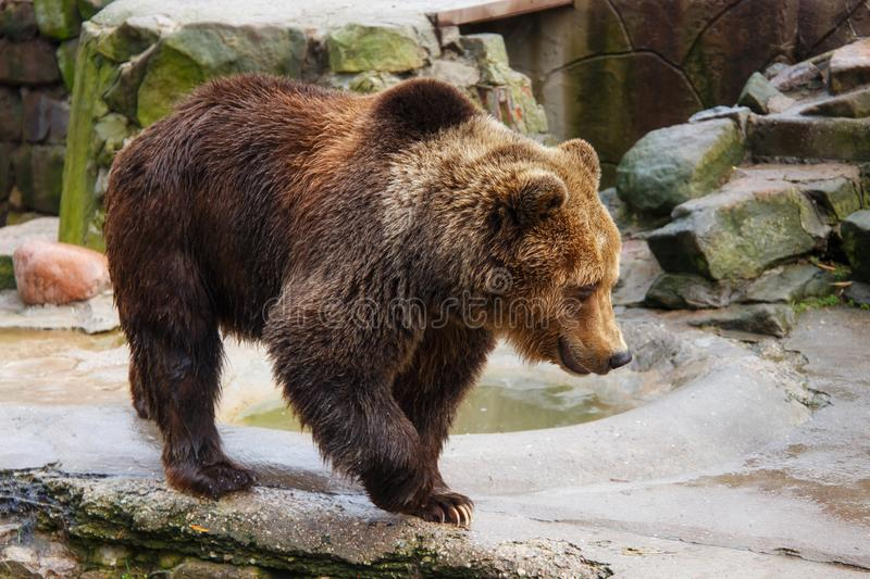 Big brown bear. Big brown bear in a zoo on an artificial rock stock image