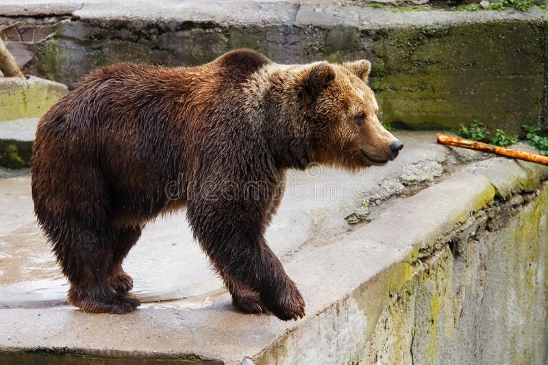 Big brown bear. Big brown bear in a zoo on an artificial rock royalty free stock photo