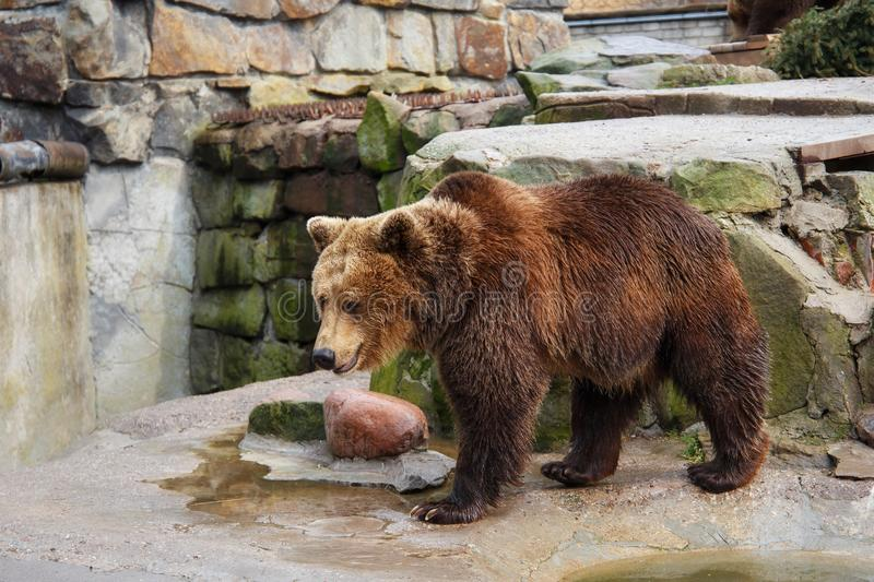 Big brown bear. Big brown bear in a zoo on an artificial rock stock images