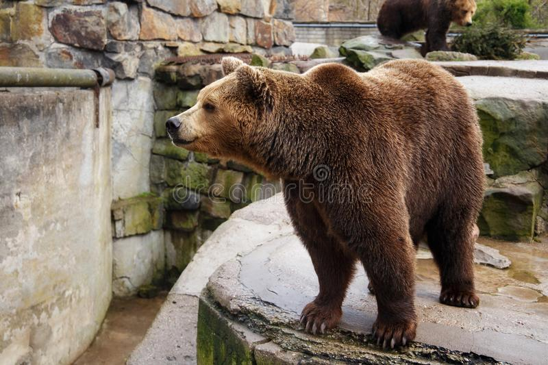 Big brown bear in a zoo. Big brown bear in a zoo on an artificial rock stock photo
