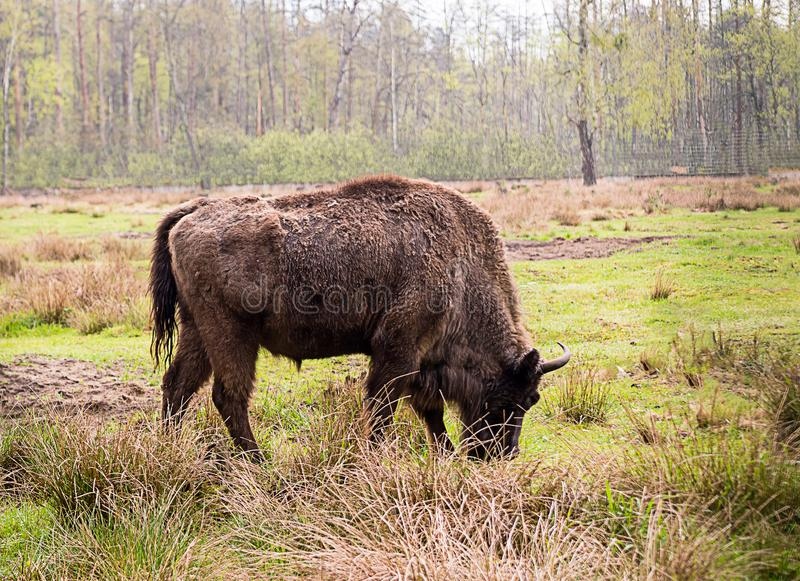 Big brown bison eats grass on a green field close-up. On a birch forest background royalty free stock photography