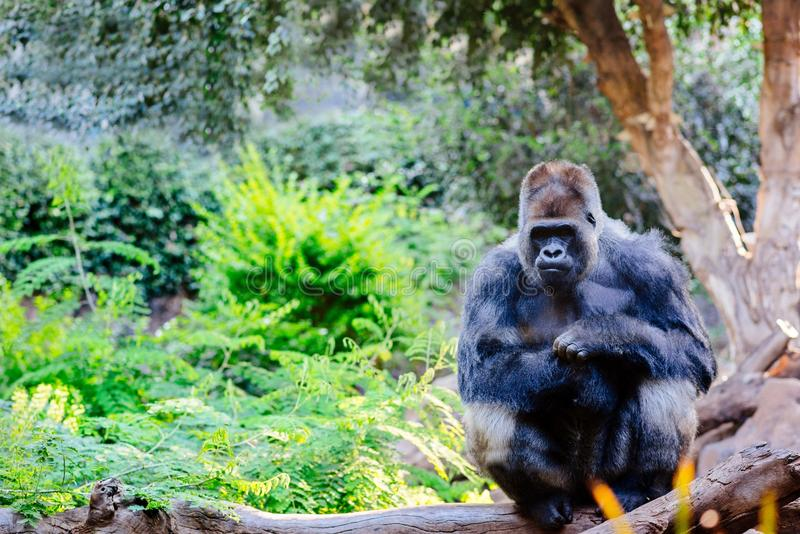 Big brown-black gorilla sitting on tree trunk. In the forest stock photo