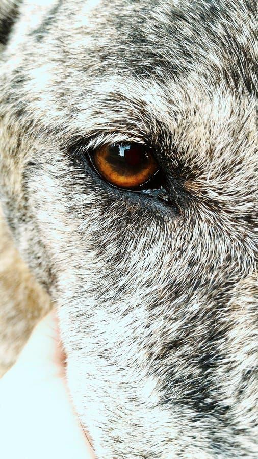 Big brown eyes royalty free stock image