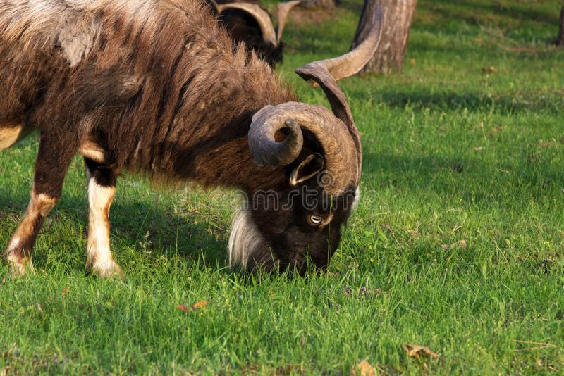 A big brown goat with huge horns eats grass among the trees. Goat - a profitable business. This is meat, milk, wool and fluff royalty free stock image
