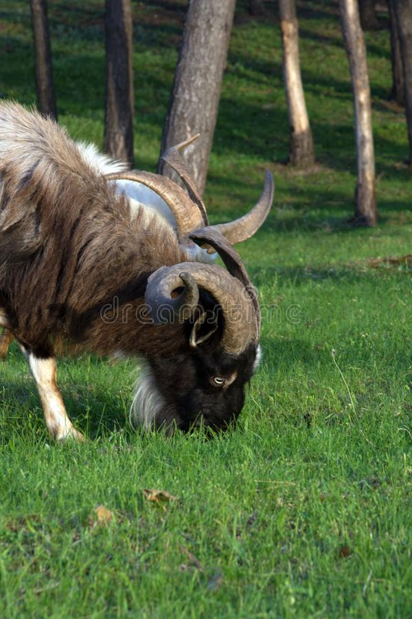 A big brown goat with huge horns eats grass among the trees. Goat - a profitable business. This is meat, milk, wool and fluff.  royalty free stock images