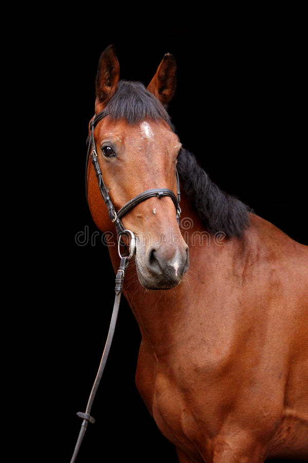 Big brown horse portrait on black background. Big brown sport horse portrait on black background royalty free stock photography