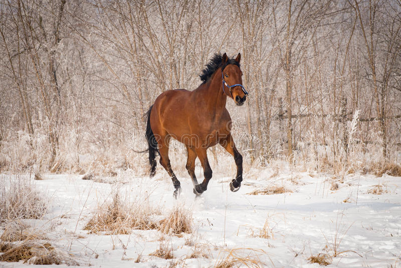 Big brown horse on the snow stock images