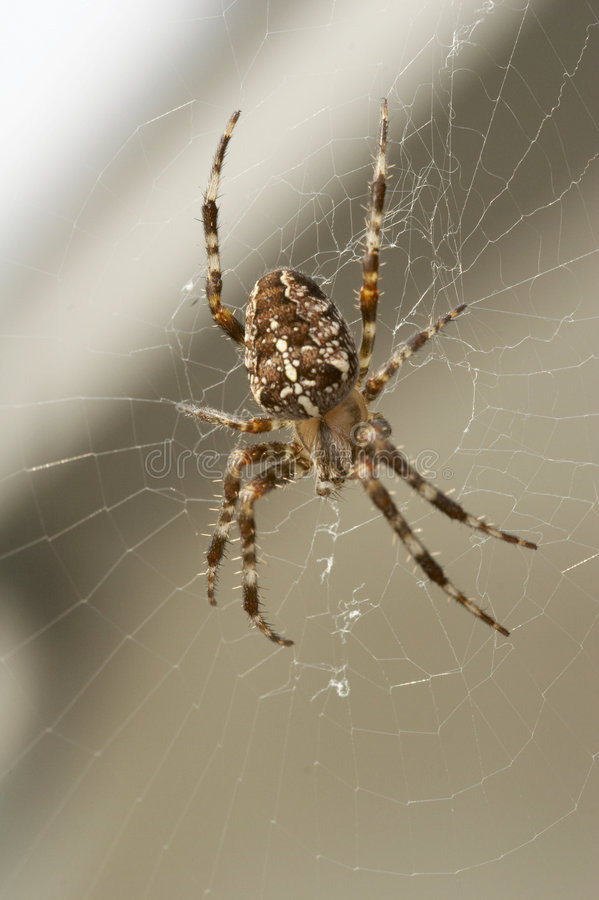 Big brown spider in cobweb 02 royalty free stock photos