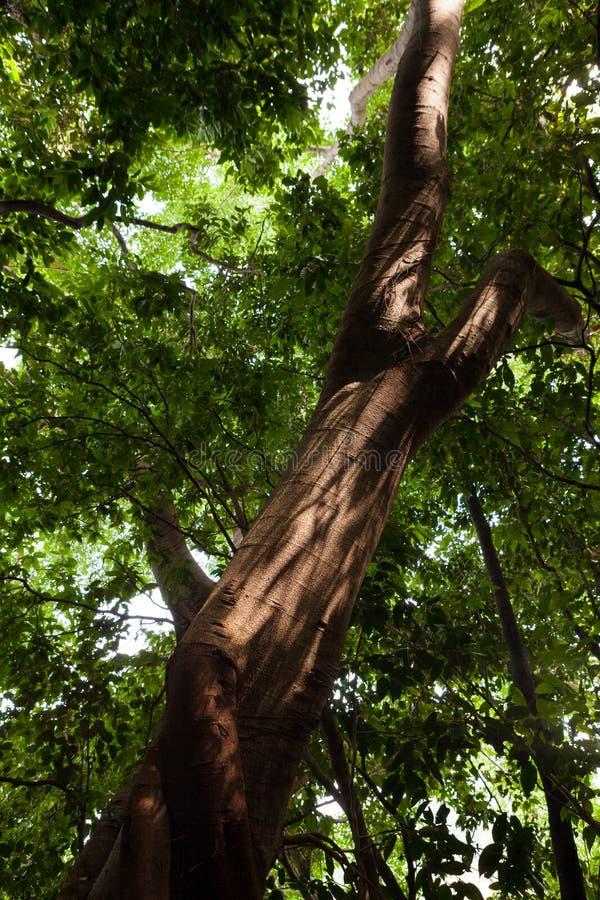 Big brown tree trunk and light through foliage. In Borneo Malaysia stock image