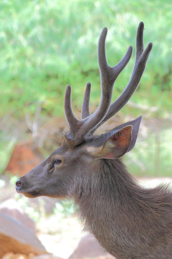 Big buck deer. Close up shot of a big buck male deer antler royalty free stock photos