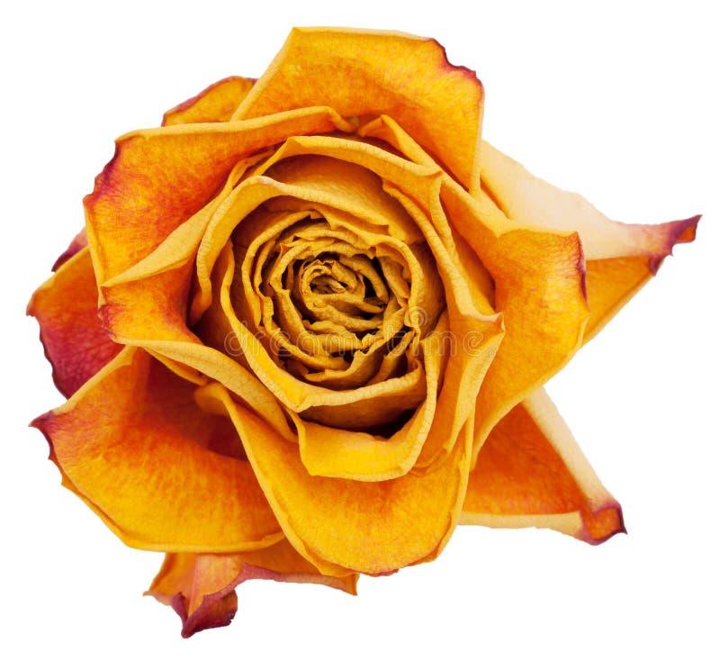 Download Big bud dried orange roses stock photo. Image of white - 25294264