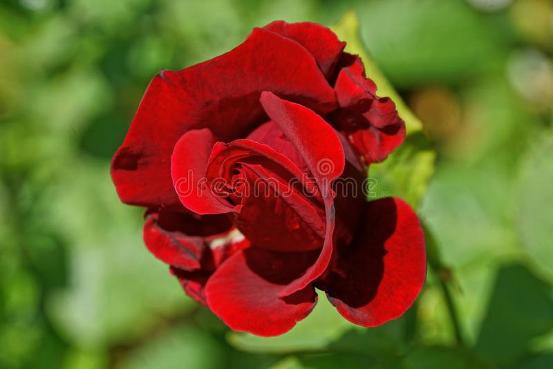big bud of a red rose flower on a stalk with green leaves in a garden stock photos