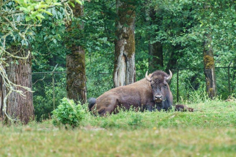 Big buffalo on a ranch or zoo. royalty free stock image