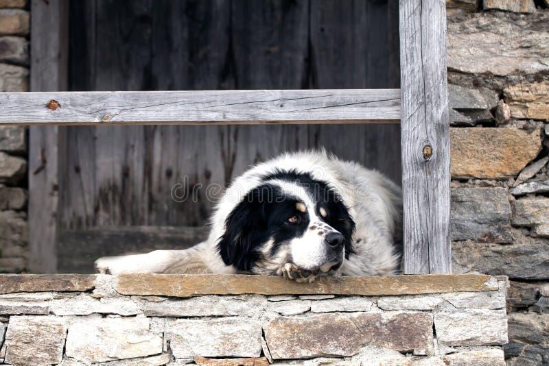 Big bulgarian shepherd royalty free stock images