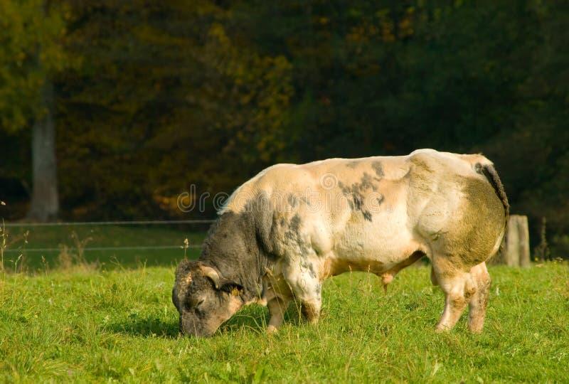 Big Bull Royalty Free Stock Images