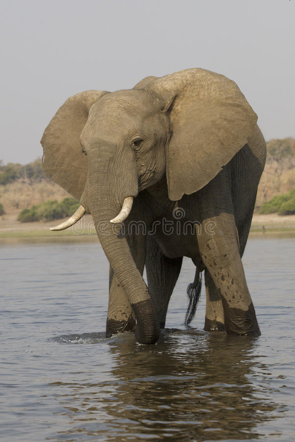 Free Big Bull Elephant Standing In River Stock Photos - 47024133