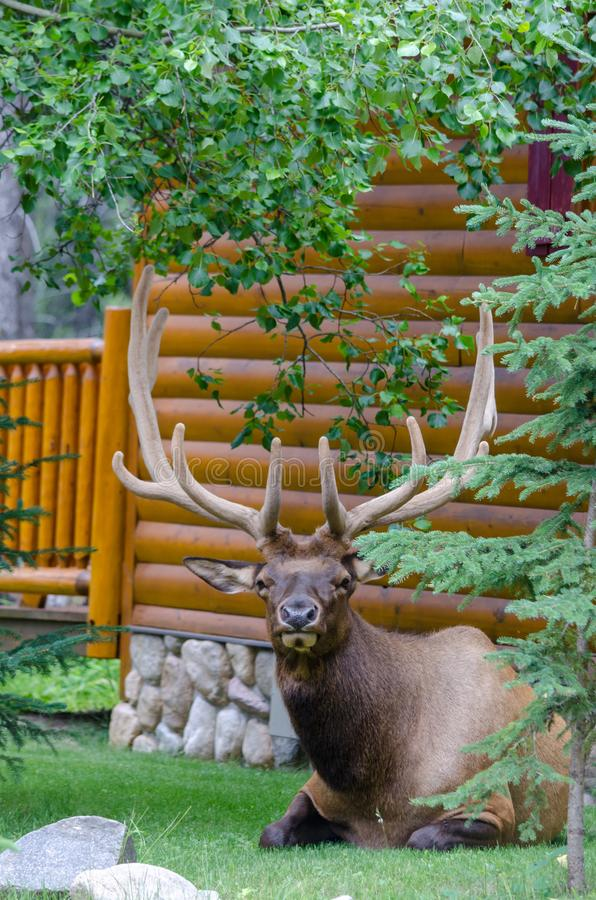Big bull elk laying down and looking royalty free stock photography