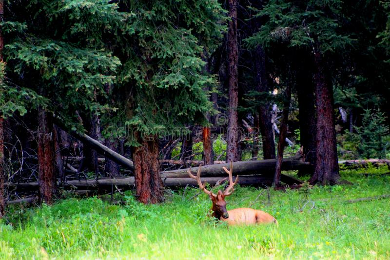 Big bull elk resting in Yellowstone national park stock photo