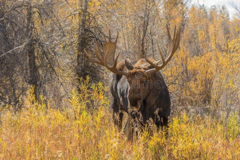 Big Bull Moose. A bull moose in brush in fall stock images
