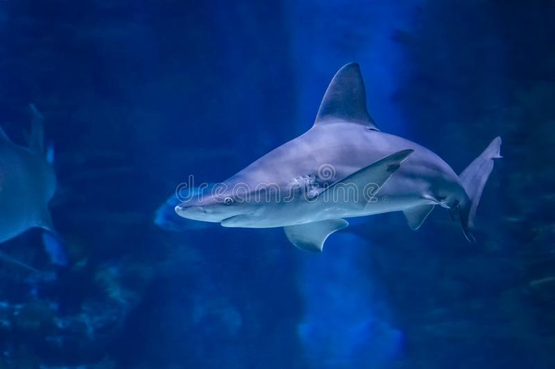 Big bull shark in the clear blue water of Pacific ocean. It is underwater photo adventure africa animal asia australia carcharodon caribbean cuba dangerous stock images