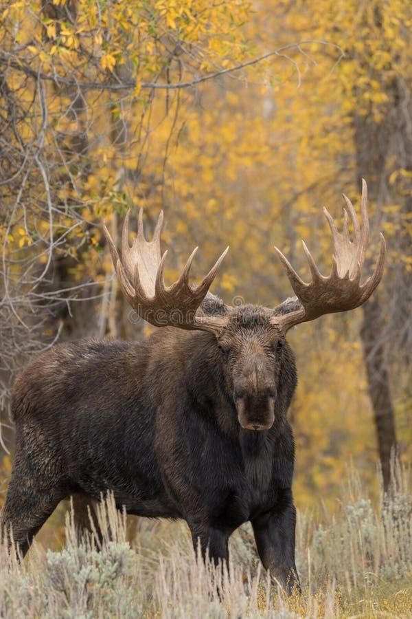 Big Bull Shiras Moose. A big bull shiras moose in the fall rut in Teton National Park stock photo