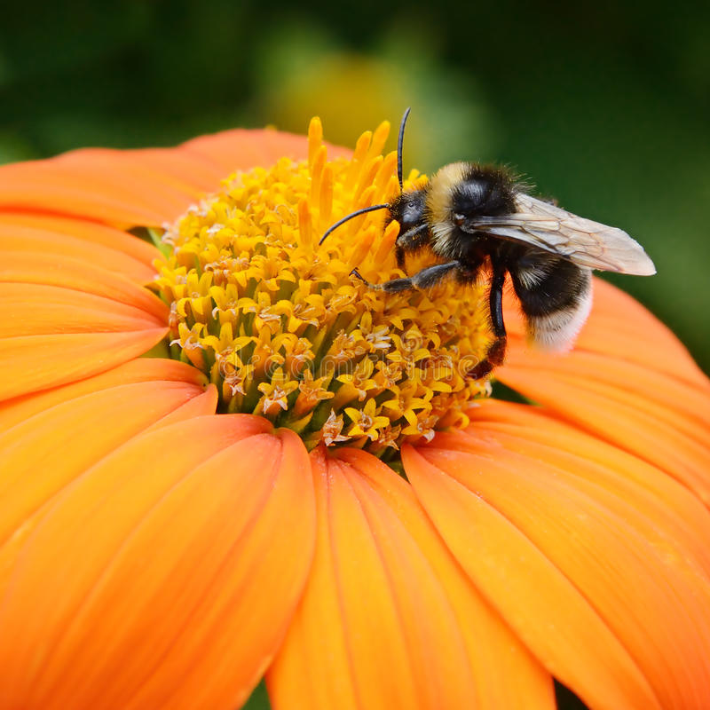 Free Big Bumble Bee Royalty Free Stock Photo - 65599375