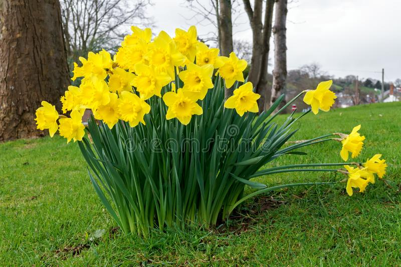 Big bunch of bright spring yellow daffodils in the garden.  royalty free stock images