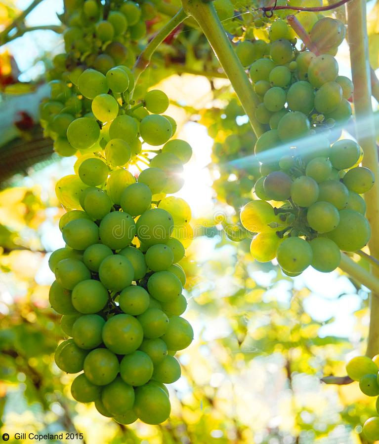 Big bunches of green grapes hanging on a grape vine with the sun shining from behind royalty free stock photography