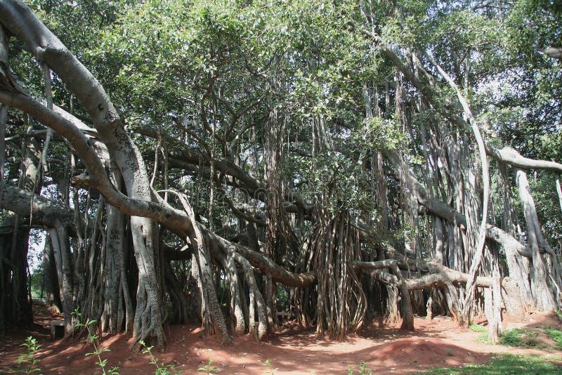 Big Bunyan Tree. Vast spread of external roots of 'Big Banyan Tree' on the outskirts of Bangalore, Karnataka, India, Asia stock photo