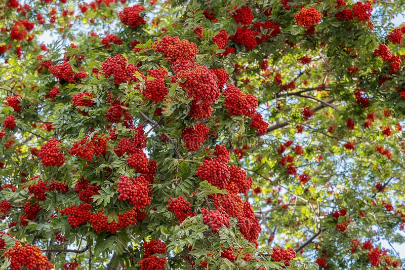 Big bush of mountain ash with red berries close-up. A tree with green foliage and ripe berries stock photos