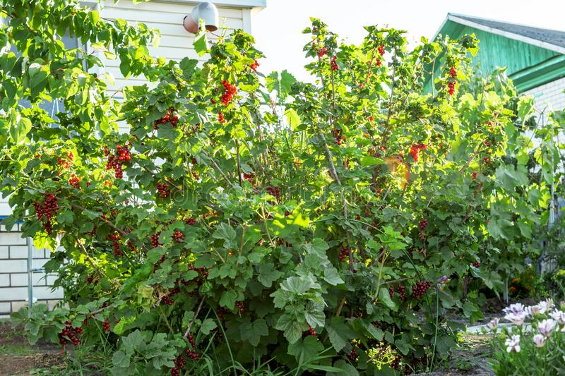 Big bush of ripe red currant in a garden in the sunny day. Concept of nature, organic food and gardening royalty free stock image