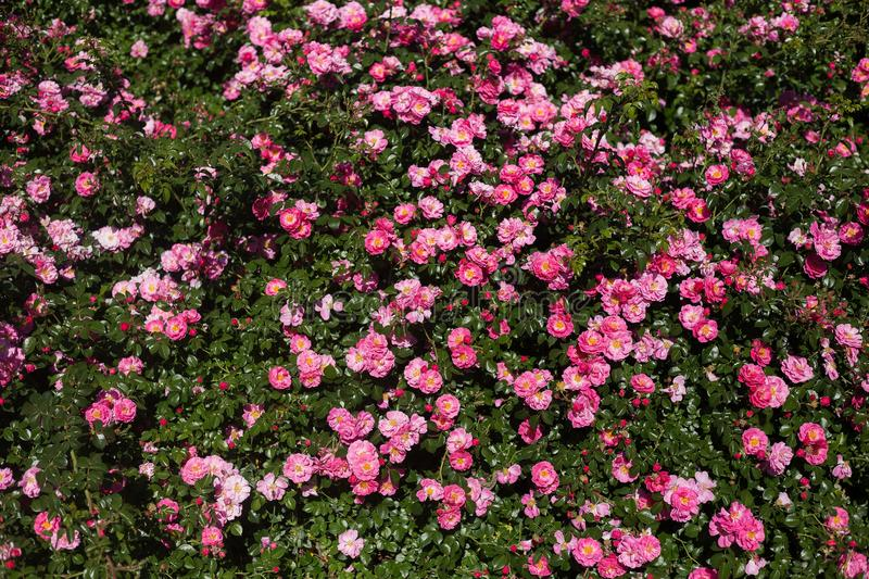 Big bush with small pink flowers royalty free stock image